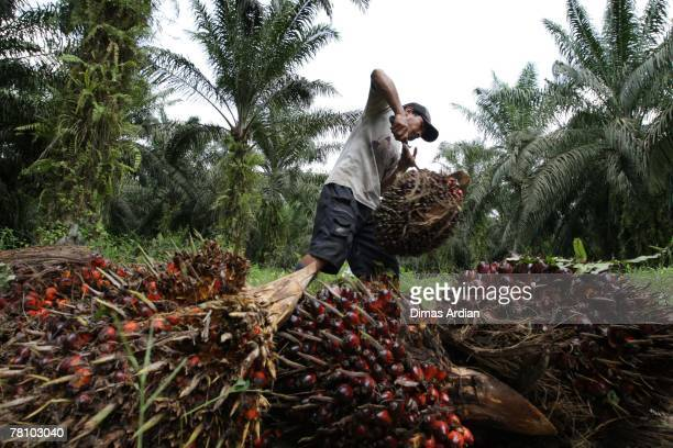 A plantation worker harvests palm oil fruits in Pelalawan Regency Riau Province November 22 2007 in Sumatra Island Indonesia For many years Indonesia...