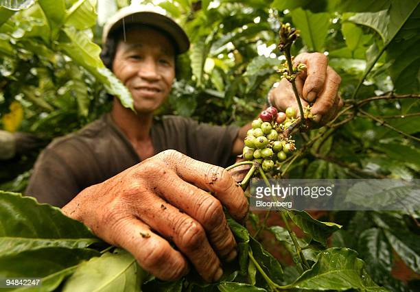 A plantation worker picks ripe coffee cherries during harvest season in Buon Ma Thuot Vietnam November 30 2005 the capital of the country's...