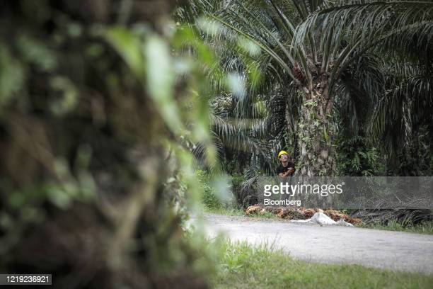 Plantation worker uses a harvesting sickle to cut a palm oil fruit bunch from a tree at the IOI Corp. Gomali palm oil estate in Gemas, Johor,...