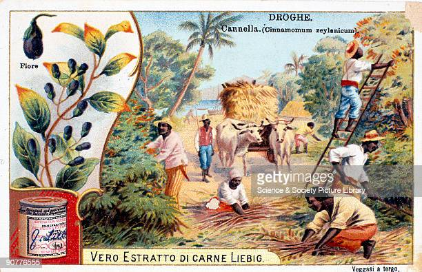 Plantation workers collecting cinnamon early 20th century 'Droghe Cannella Cinnamomum zeylanicum' One of a set of tade cards about the production of...