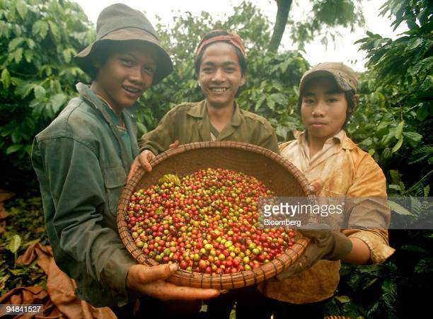 Plantation workers show off a basket of justpicked coffee cherries during harvest season in Buon Ma Thuot Vietnam November 30 2005 the capital of the...