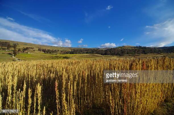 plantations and fields of organic quinoa