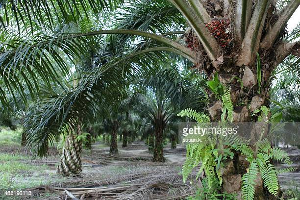 Plantations of matured oil palms with fruits