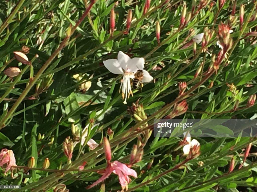 Plante Fleur Vivace Rose Pale Stock Photo Getty Images