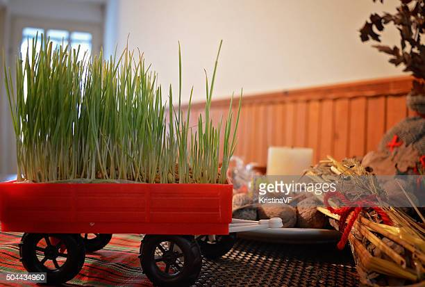 Planted wheat as a part of Christmas decoration by the child in the tractor trail