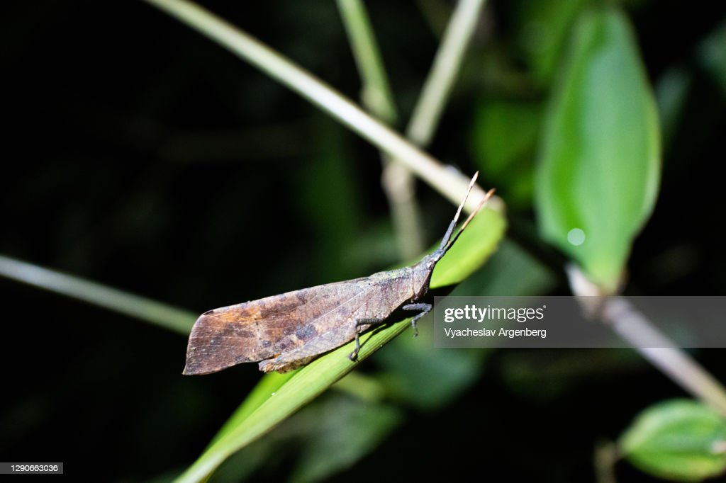 Planthopper insect (Fulgoromorpha), Borneo, Malaysia : Stock Photo