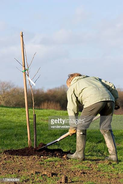 planting a sapling - fruit tree stock pictures, royalty-free photos & images