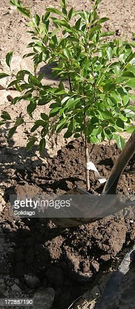 Planter une petite cerisier nain