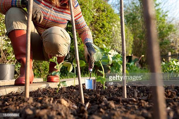 Planting Beans in Vegetable Garden