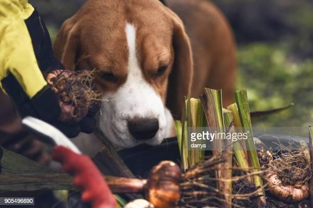 bauchige pflanzen im garten mit meinem hund - blumenzwiebel stock-fotos und bilder
