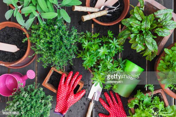 Planting culinary herbs on balcony