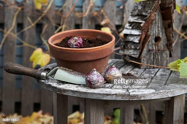 planting hyacinth bulbs - blumenzwiebel stock-fotos und bilder