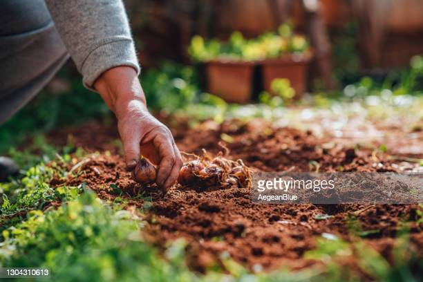 planting lily bulbs in her garden - plant stock pictures, royalty-free photos & images