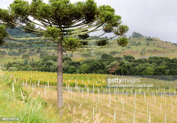 Planting of grapes for wine production in the Serra de Santa Catarina in the city of São Joaquim in Brazil.