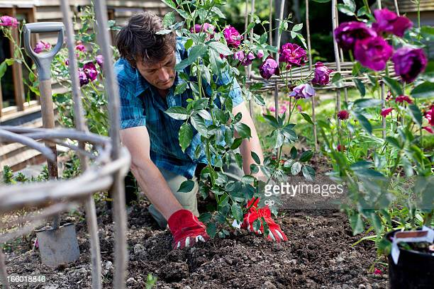 Planting Purple Roses in Flower Border
