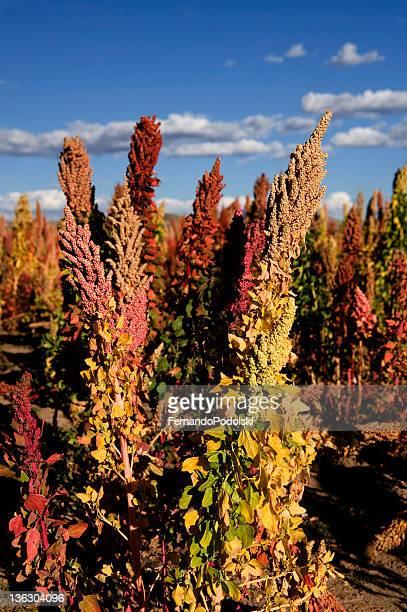 Pflanzen Quinoa in Bolivien