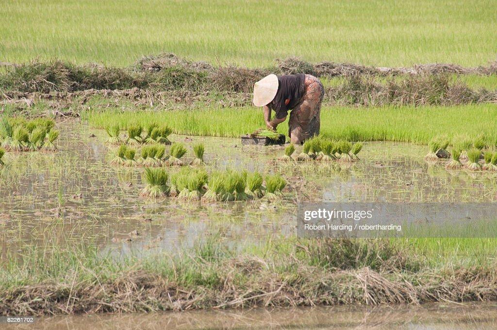 Planting rice, near Vientiane, Laos, Indochina, Southeast Asia, Asia : Stock Photo