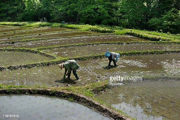 planting ripce,the country,hand work