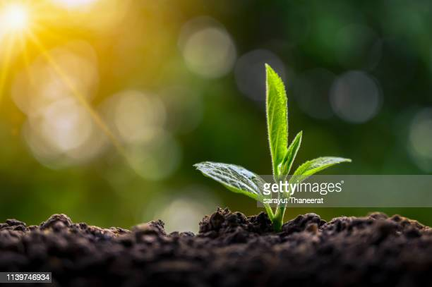 planting seedlings young plant in the morning light on nature background - new life stock pictures, royalty-free photos & images