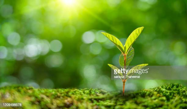 planting seedlings young plant in the morning light on nature background - 苗 ストックフォトと画像