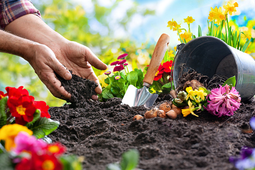 Planting spring flowers in the garden 1134719612