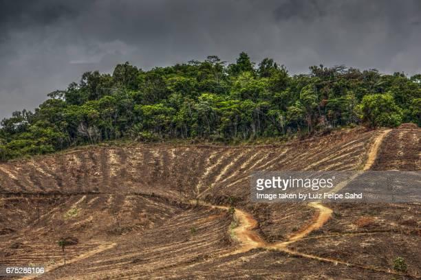 Planting sugar cane versus Atlantic Forest