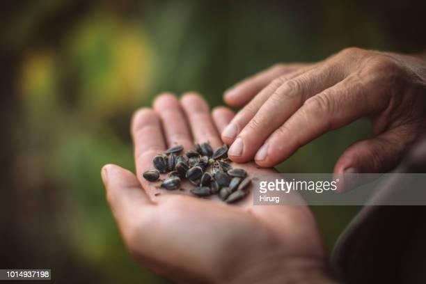 aanplant zonnebloempitten - zaad stockfoto's en -beelden
