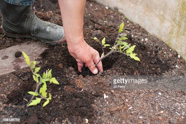 Planting tomato seedlings in the greenhouse of a home vegetable garden