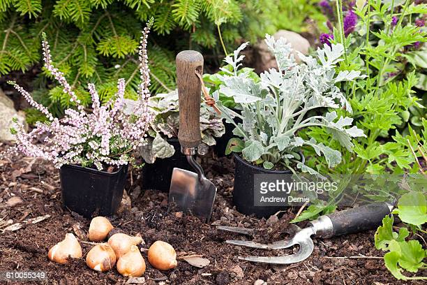Planting Tulip Bulbs ready for the Spring