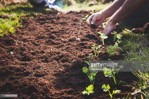 planting young carrots - vegetable garden stock pictures, royalty-free photos & images
