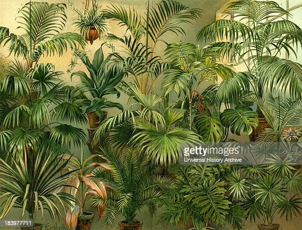 Plants 19th Century Kentia Baueri Chrysalidocarpus Lutescens Howea Forsteriana Trachycarpus Excelsa Livistona Chinensis Chamaedorea Hybrida Cocos...