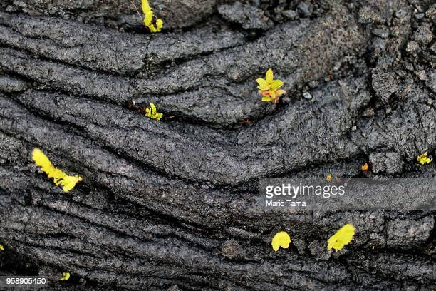 Plants grow in cracks on a hardened lava flow from the Kilauea volcano on Hawaii's Big Island on May 15 2018 in Pahoa Hawaii The section of the...