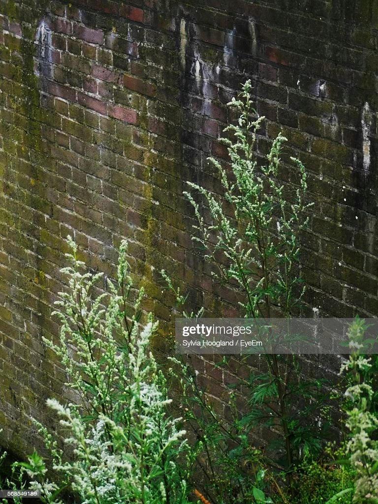 Plants Growing Against Brick Wall : Stock Photo