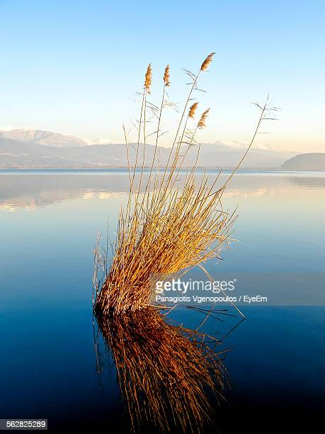 plants growing amidst lake in front of mountains against sky - vgenopoulos stock pictures, royalty-free photos & images