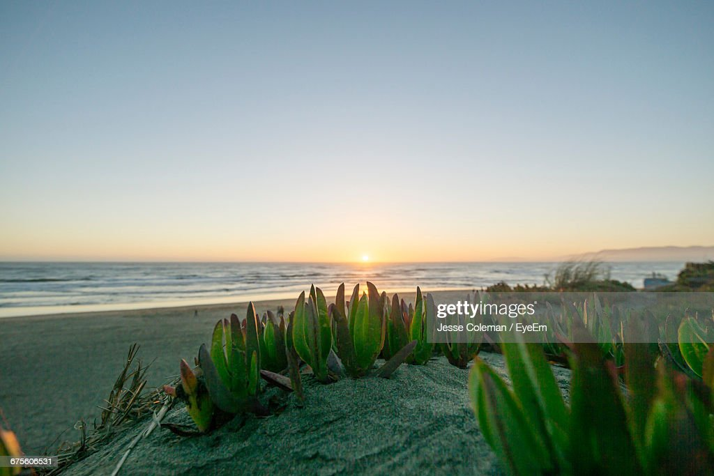 Plants Growing At Beach Against Clear Sky During Sunset : Stock Photo