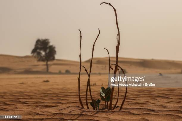 Plants Growing At Desert Against Clear Sky During Sunset