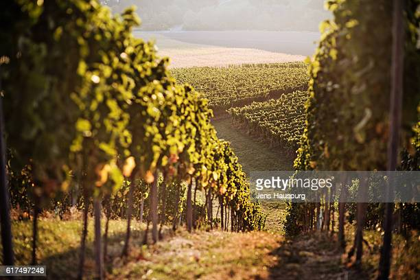 plants growing at vineyard - wine vineyard stock photos and pictures