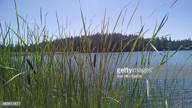 Plants Growing By Lake Against Sky