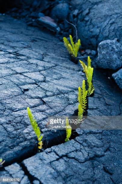 Plants growing from the gap of lava stone