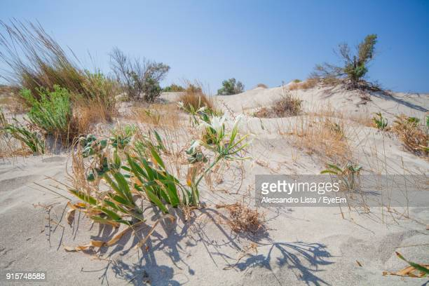 Plants Growing In Desert Against Clear Sky