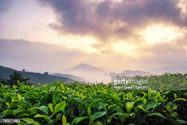 plants growing in farm against sky - camellia sinensis stock photos and pictures