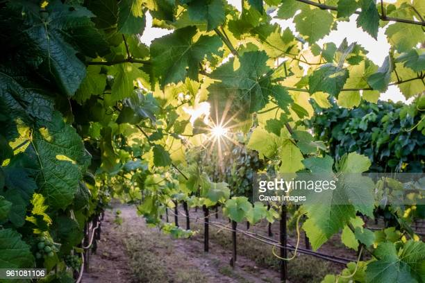 plants growing in vineyard - sonoma county stock pictures, royalty-free photos & images