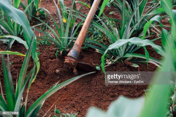 plants growing on agricultural field - kampala stock-fotos und bilder
