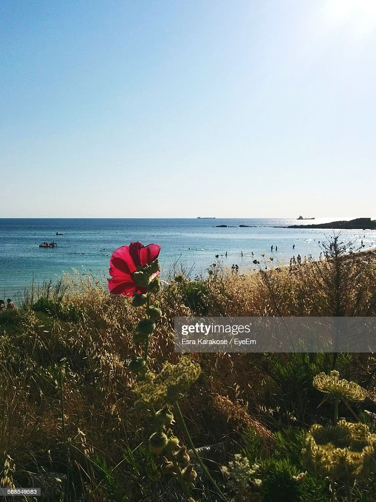 Plants Growing On Beach By Sea Against Clear Sky : Stock Photo