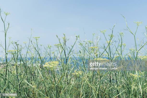 plants growing on field against clear sky - anise stock pictures, royalty-free photos & images