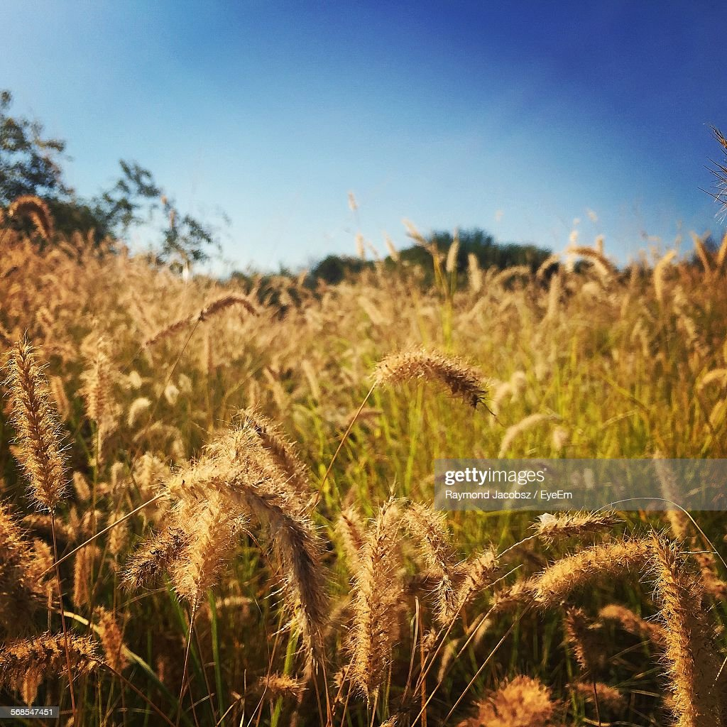 Plants Growing On Field Against Clear Sky : Stock Photo
