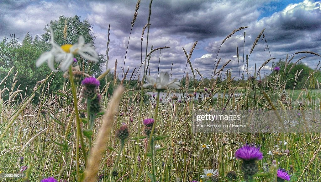 Plants Growing On Field Against Cloudy Sky : Stock Photo