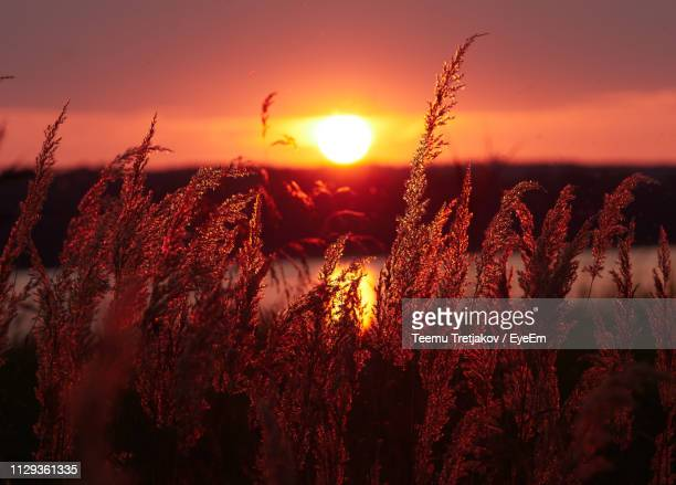 plants growing on field against sky during sunset - teemu tretjakov stock pictures, royalty-free photos & images