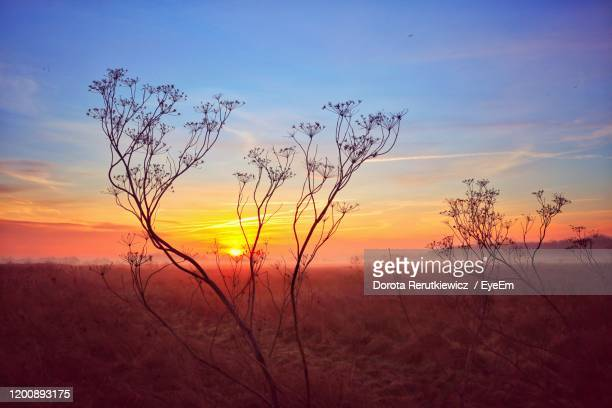 plants growing on field against sky during sunset - king's lynn stock pictures, royalty-free photos & images