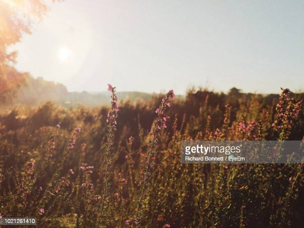 plants growing on field against sky - sandhurst stock pictures, royalty-free photos & images